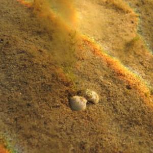 Südakarp (Cerastoderma glaucum). Foto: Kaire Kaljurand, TÜ EMI
